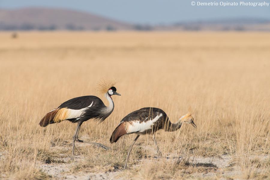 Great Grey Crowned Cranes